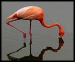 Flamingo_rivieramaya_thumb