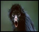Spider_monkey_rivieramaya_thumb