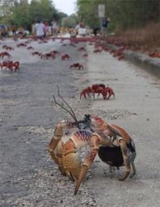 crab_attack_3-232x300