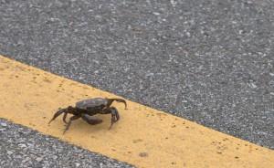 crabxing3-300x184