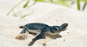 turtlesincancun-300x163