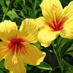yellow-hibiscus-steve-simon